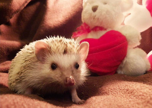 hedgehog-s:  St-Valentin Hérisson! by Mademoiselle Élo on Flickr.