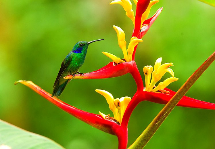 Colibri thalassin sur une heliconia. Photo prise en Equateur par Francesco Veronesi http://www.flickr.com/photos/francesco_veronesi/