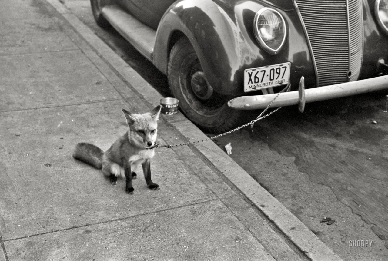 "October 1940. Moorhead, Minnesota. ""Fox chained to automobile."" 35mm negative by John Vachon for the Farm Security Administration."