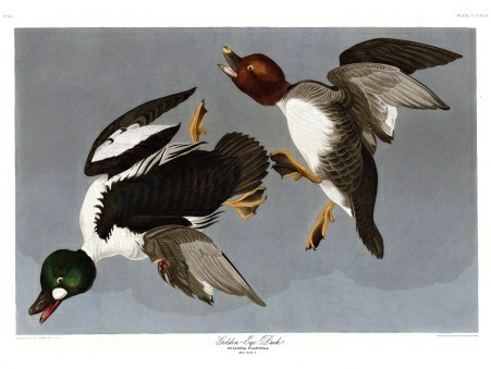 thebirdsofamerica:  Audubon's Golden Eye Duck. It's a bit unusual for Audubon for a couple of reasons. It's one of the only subjects he painted for The Birds of America twice, and it's one of two that show a bird that's apparently been shot- the male's left wing is folded with bloody flesh visible and he appears to be falling from the sky as the female continues to climb. It's plate 342 in the Havell edition.