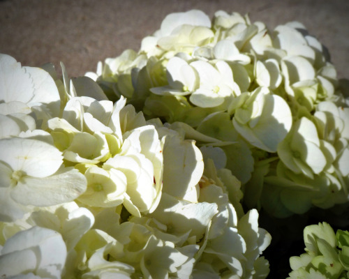 White hydrangeas look like clouds.