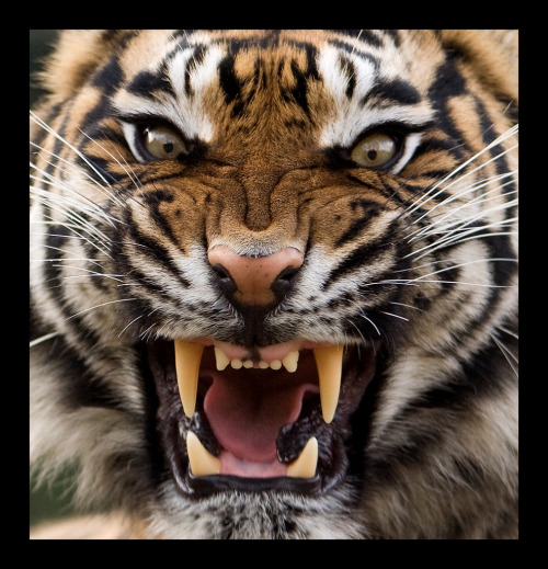 magicalnaturetour:  Angry Tiger by Theo Kruse :)