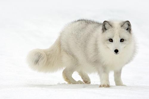 Arctic Fox (by Stephen Oachs (ApertureAcademy.com))
