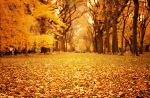 "nythroughthelens:  Autumn leaves. Central Park, New York City.  Under a canopy of elm trees, nothing is quite as beautiful as the warmth that emanates from fallen autumn leaves.   Scattered like fiery embers, they are strewn about only suspended in motion for a short time before the wind stirs them from their molten slumber.    If winter had but one dream, it would be of this.    —-  View this photo larger and on black on my Google Plus page  —-  Buy ""Autumn Leaves - Central Park - New York City"" Posters and Prints here, New York City Gift Ideas For the Holidays, email me, or ask for help."