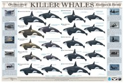 fortheocean:  poster  by Uko Gorter shows the types of orcas found around the world