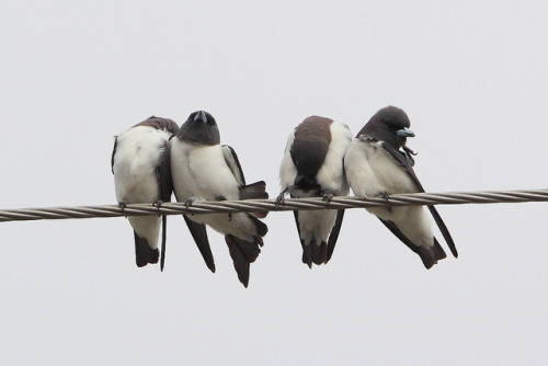 White-breasted Woodswallows by Calidris! on Flickr.
