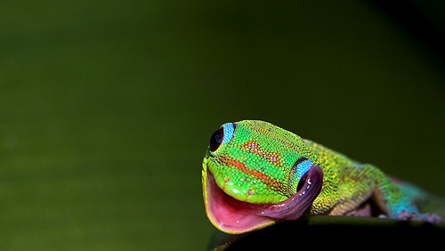 reptiglo: Gold powdered day gecko