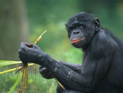 Chimpanzees Self-Medicate With Food Chimps, like humans, learn from each other what foods can help cure what ails them. Jennifer Viegas on how high-ranking chimps teach others how to medicate with plants.