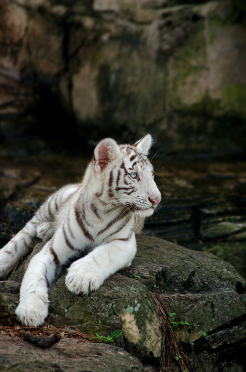 earth-song:  white tiger 123