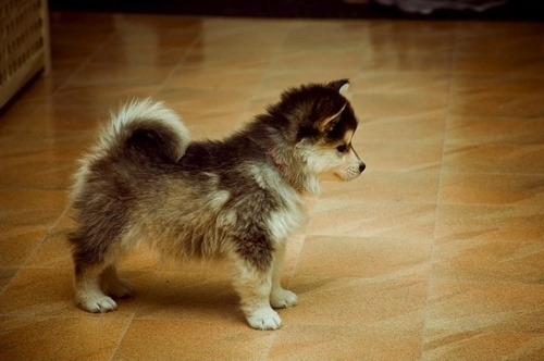 soramaymorbid:  pomsky cutest thing ever