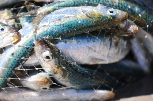 Sardines caught in a net - Southern Africa.