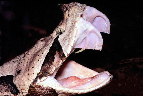 What's worse than venomous snake fangs? Really long venomous snake fangs. And those of the Gaboon viper's are the longest in the world - up to 2 inches in some cases. As in all vipers, the fangs hinge backwards so the snake doesn't stab itself through its lower jaw when it closes its mouth. Evolution FTW.