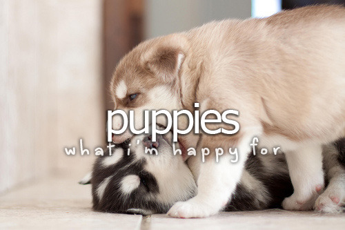 Okay, this is totally my favorite breed… Huskyyyyy!!! xD