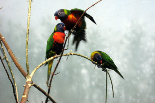 NYC - Prospect Park Zoo - Animals in Our Lives - Lorikeets by wallyg on Flickr.Via Flickr: Lorikeets lories are small, brightly coloured, regal, highly arboreal parrots. They are usually classified as Loriinae, the most clearly distinct of the several rather uncertain subfamilies within the Psittacidae.  Lorikeets eat nectar from about 5,000 species of flowers. To collect the nectar they use their specialised tongues. On the tip of their tongues they have many protrusions; a tuft of papillae (extremely fine hairs). They extend to effectively collect nectar and pollen. Lorikeets have tapered wings and pointed tails that allow them to fly easily and display great agility. They also have strong feet and legs. * The Prospect Park Zoo, Brooklyn's only Zoo, is home to nearly 400 animals of more than 80 species. First established as a small menagerie in Prospect Park in the late 1800's, this collection of animals became the more formal Prospect Park Zoo on Flatbush Avenue that opened to the public on July 3, 1935.  A Works Progress Administration (WPA) project, the Zoo was part of a massive city-wide park improvement program initiated and executed by former Parks Commissioner Robert Moses. Closed in 1988 for a five year, $37 million dollar renovation program, the zoo was completely replaced save for the exteriors of the 1930's-era buildings.  Rededicated on October 5, 1993, it joined Wildlife Conservation Society's (WCS) world-renowned network of wildlife parks in New York City. The World of Animals in the southern quadrant of the zoo, features the Discovery Trail. The trail begins in the World of Animals building, but visitors quickly pass to an outdoor path that winds through the southern third of the zoo. Animals from diverse corners of the globe are shown in settings not unlike their natural habitats. Visitors may find along the trail Prairie Dogs, Kangaroos, Red Pandas, other animals. Signs often ask challenging questions, reinforcing presentations made in the Zoo's Discovery Center, or alert viewers to look for signs of animal habitation. Though it occupies a compact plot, The Discovery Trail has been carefully designed so that very little of the trail can be seen at one time, permitting visitors to concentrate on just the few exhibits at hand. The trail passes through marsh, open grassland, and wooded areas, featuring animals particular to each biota.