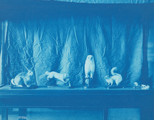 "View of Stuffed Animals Installation by Smithsonian Institution on Flickr.Via Flickr:Description: This photograph of stuffed specimens is an example of the day-to-day documentation of Smithsonian life and museum installations that curator Thomas Smillie and his staff regularly performed. Smillie used blue cyanotypes like this one to keep track of the glass-plate negatives his staff made, in part because the medium presented a quick and inexpensive way to create photographic prints. The bulky glass negatives were numbered and filed, and a corresponding blueprint catalogue was kept to help readily locate them.Creator/Photographer: Thomas Smillie Birth Date: 1843 Death Date: 1917 Born in Edinburgh, Scotland, in 1843, Thomas William Smillie immigrated to the United States with his family when he five years old. After studying chemistry and medicine at Georgetown University, he took a job as a photographer at the Smithsonian Institution, where he stayed for nearly fifty years until his death in 1917. Smillie's duties and accomplishments at the Smithsonian were vast: he documented important events and research trips, photographed the museum's installations and specimens, created reproductions for use as printing illustrations, performed chemical experiments for Smithsonian scientific researchers, and later acted as the head and curator of the photography lab. Smillie's documentation of each Smithsonian exhibition and installation resulted in an informal record of all of the institution's art and artifacts. In 1913 Smillie mounted an exhibition on the history of photography to showcase the remarkable advancements that had been made in the field but which he feared had already been forgotten.Medium: CyanotypeDimensions: 7.9"" x 9.9""Date: 1906Collection: Thomas Smillie Collection (Record Unit 95) - Thomas Smillie served as the first official photographer for the Smithsonian Institution from 1870 until his death in 1917. As head of the photography lab as well as its curator, he was responsible for photographing all of the exhibits, objects, and expeditions, leaving an informal record of early Smithsonian collections.Persistent URL: http://photography.si.edu/SearchImage.aspx?t=5&id=287&q=RU95_Box79_25242Repository: Smithsonian Institution ArchivesAccession number: RU95_Box79_25242"