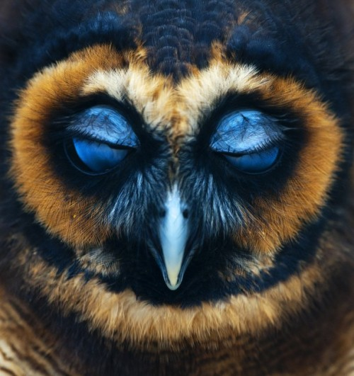 theanimalblog:  Taken by Robin Utrecht | National Geographic  Owl, my favorite