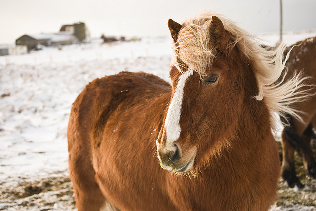 Mottled horse outside in winter by Oddikennari on Flickr.