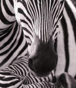 Black and White, a gallery by vickilw on Flickr.Via Flickr: ZebrasPhotos by peo pea, Paulides, halfhonky, makumbo and * cris *