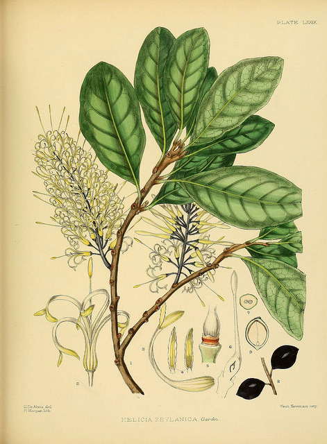 n184_w1150 by BioDivLibrary on Flickr.  A hand-book to the flora of Ceylon. atlas. London :Dulau,1893-1931.biodiversitylibrary.org/item/105778