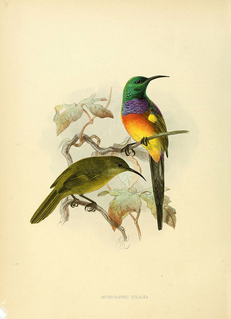 Anthrobaphes violacea (Orange-breasted Sunbird)