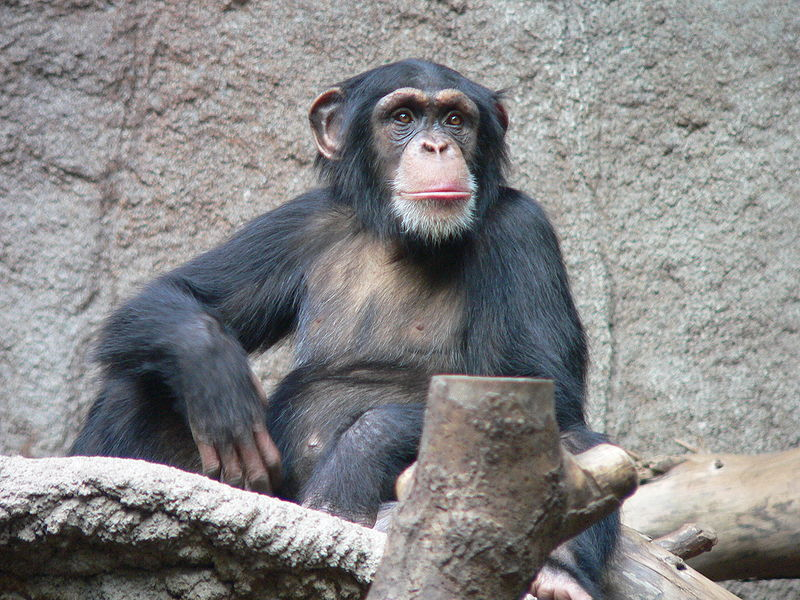 Researchers find poop-throwing by chimps is a sign of intelligence In proof that even politicians share a common ancestor with chimpanzees, Emory University reports that throwing feces is a sign of smarts in captive chimps.  Surprisingly, they found that chimps that both threw more and were more likely to hit their targets showed heightened development in the motor cortex, and more connections between it and the Broca's area, which they say is an important part of speech in humans. The better chimp throwers, in other words, had more highly developed left brain hemispheres, which is also, non-coincidently, where speech processing occurs in people. Such findings led the term to suggest that the ability to throw is, or was, a precursor to speech development in human beings.  So being able to throw things well is a sign of higher-order brain development? Then why did Dan Marino score a 16 on the Wonderlich Test? (via PhysOrg)