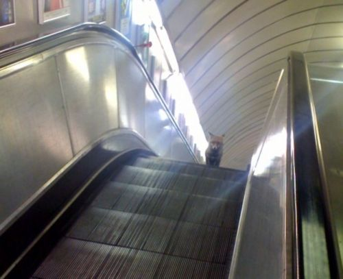 existential-soundings:  Fox on an escalator.