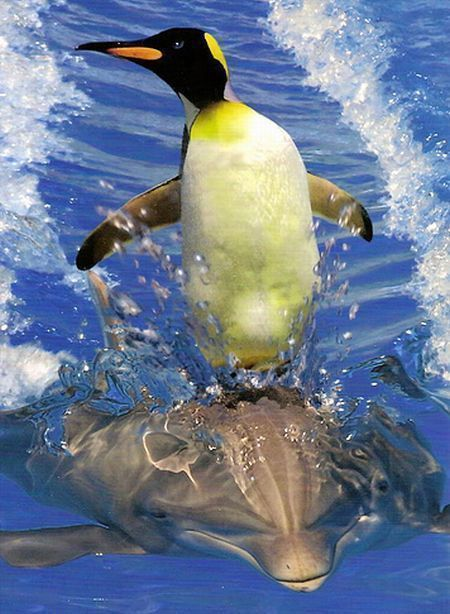 magicalnaturetour:  Cute penguin riding a dolphin via FFFFOUND :)