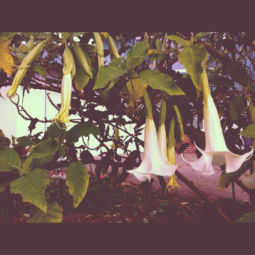 angel trumpets in the November garden, Instagram'd on Flickr.see you at http://JunkyardKnife.com