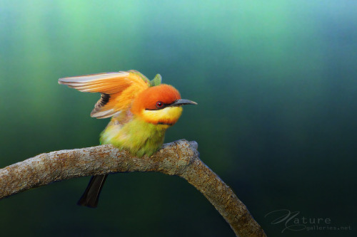 fairy-wren:  chestnut-capped bee-eater (sasi smit)