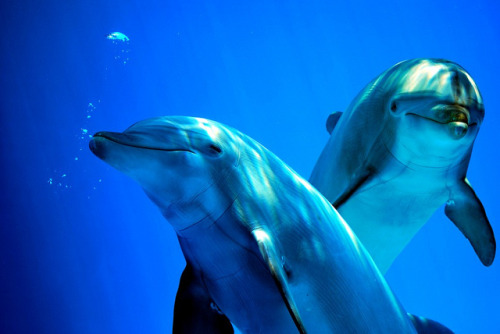 katyjean:  Look Dolphins by ThePetrock on Flickr.