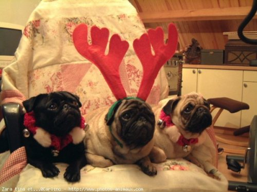 Meet Santa's little Pugdeer!
