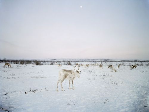 nationalgeographicdaily:  Reindeer, ScandinaviaPhoto: Erika Larsen Sami herders follow the migrations of the reindeer as they move across northern Scandinavia and Russia from their winter grazing grounds to cooler areas during the summer months.