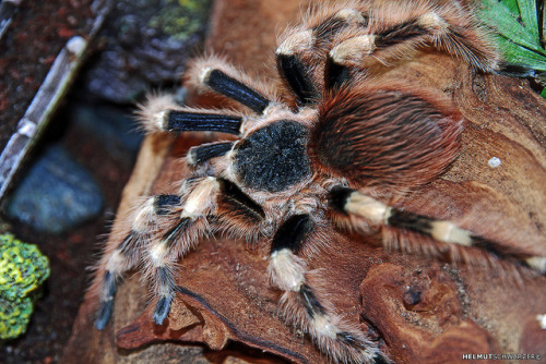 Dirkie - Brazilian Black and White Tarantula by Helmut Schwarzer on Flickr.Via Flickr: The Brazilian Black and White Tarantula is a very rare, expensive, and desirable tarantula species! It is another beautiful black and white striped tarantula, like the Brazilian Whiteknee Tarantula (Acanthoscurria geniculata), but with broader strips of white hairs.