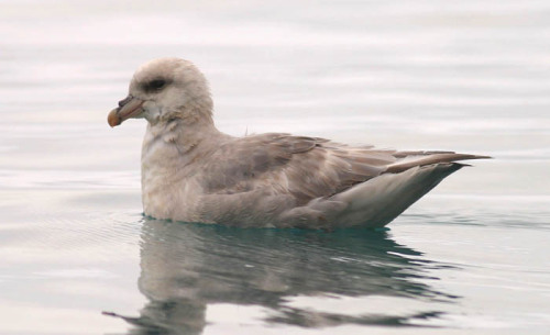 Northern Fulmar, Devon Island, Nunavut, Canada. Photo by Angus Wilson  Today, I wish I could be this bird. Just floating on a cold, glassy sea. In Canada. Belly full of fish. That's all.