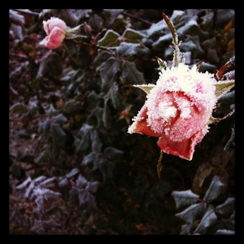 Frosted rose on this morning's walk to work.  (Taken with instagram)