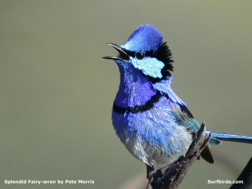 fairy-wren:  splendid fairy wren
