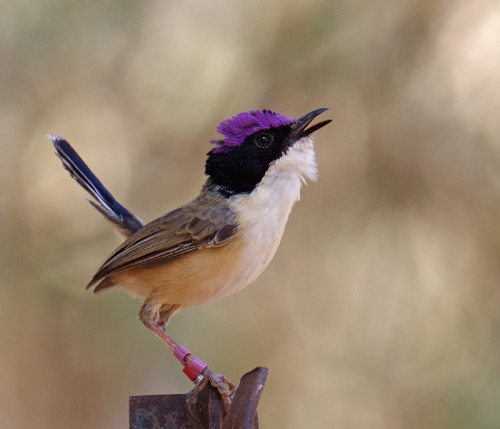 fairy-wren:  purple crowned fairy wren