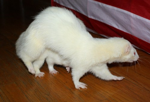 fuckyeahferrets:  Big White, the six-legged ferret