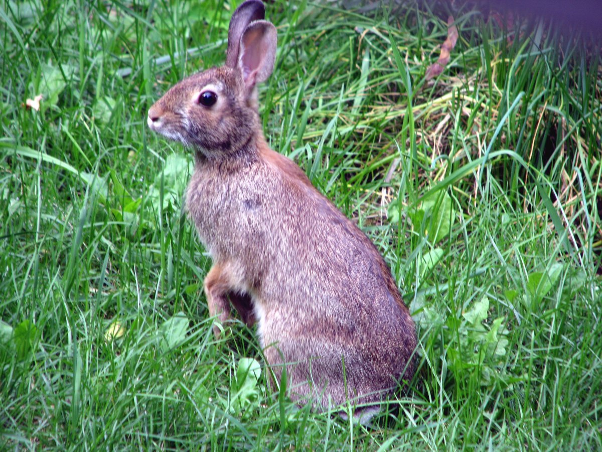 A brave little bunny in my back yard.