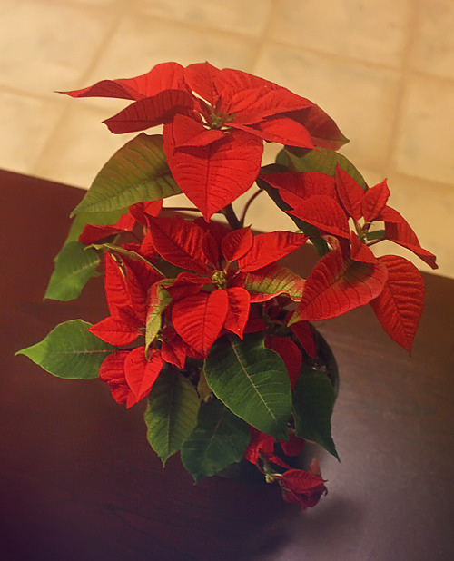 My new poinsettia plant >w<