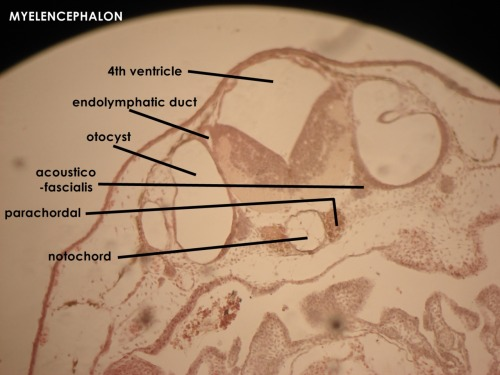 ohyeahdevelopmentalbiology:  soucieux:  What I've been up to lately: labeling cross-sections of the 10mm frog huhu. This photo is of the ectodermal derivatives in the region of the myelencephalon (region of the frog brain).
