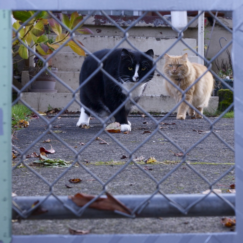 Black cat, orange cat, in yard behind chainlink fence, N Van Houten ave.