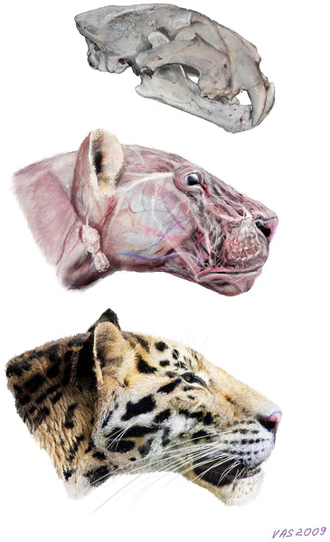 rhamphotheca:  World's Oldest Tiger Species Discovered by Charles Choi The oldest extinct species of tiger known yet has been discovered in China, scientists say. Although the skull of the more than 2-million-year-old fossil is  smaller than most modern tigers, it appears very similar in shape,  researchers added. The tiger (Panthera tigris) is one of the largest living cats,  a giant predator native to Asia reaching up to 13 feet (4 meters) in  length, including its tail, and weighing up to 660 pounds (300  kilograms). The beast's origins are under intense debate, with  suggestions it arose in north-central China, southern China or northern  Siberia. Now scientists have discovered a new skull and jaw from an extinct  jaguar-sized tiger in northwestern China dating back 2.16 million to  2.55 million years, predating other known tiger fossils by up to a half-million years. This represents the oldest complete skull hitherto found of a pantherine cat — the lineage that includes tigers and all other living big cats… (read more: Live Science)   (image: Velizar Simeonovski et al, PLoS ONE)