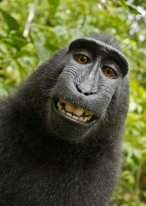 "rhamphotheca:  animalsrule: Celebes Crested Macaque Self Portrait  Self-portrait of a female Celebes crested macaque (Macaca nigra) in North Sulawesi, Indonesia, who had picked up photographer David Slater's camera and photographed herself with it.   Another little interesting tidbit: This photo has no copyright because it is ""the work of a non-human animal."""