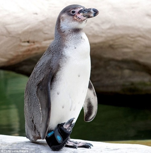Limping Penguin Gets An Adorable Sandal To Help Him Walk Again (via @buzzfeed)