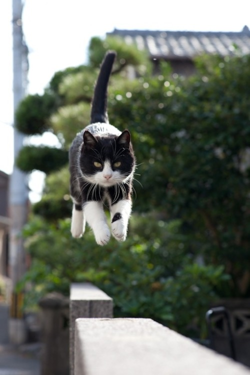 knives777:  Flying Kitteh comes in for a landing!