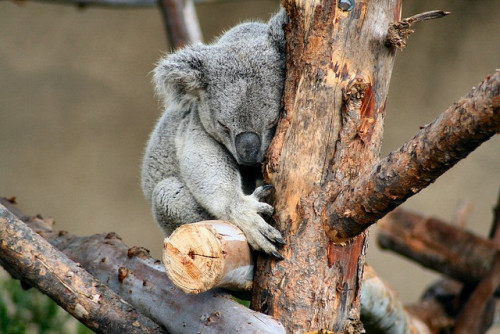 sdzoo:  Tree Hugger by Butterflysnbees on Flickr. Koalas are the original tree huggers.