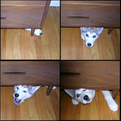 "Siberian Husky puppy likes to plays ""turtle"" under the desk.  画"