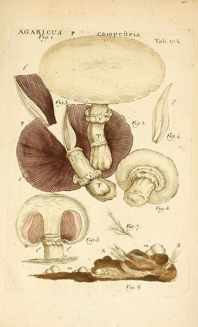 mycology:  n212_w1150 by BioDivLibrary on Flickr. Agaricus campestris - the field mushroom or meadow mushroom