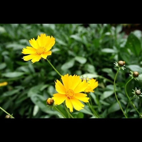 Blessed Sunday …#yellow #flowers #nature #green (Taken with instagram)